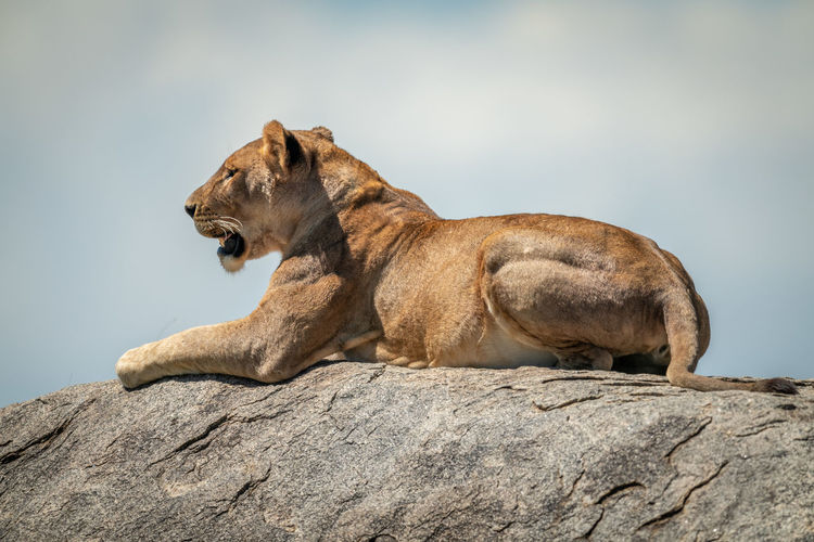 Big cat on rock against sky