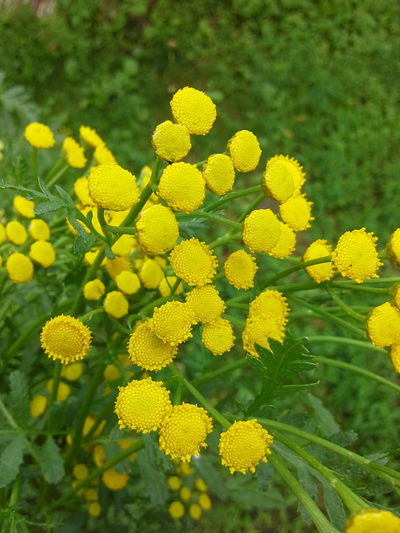 Пижма!!! Tansy!!! EyeEm Nature Lover Nature Naturally Me Flower Natural Beauty Flowers, Nature And Beauty Flovers🌺beautiful Love 💕 Flowers For My Friends Flover, Green, Summer Nature Photography Nature_collection Summer ☀ EyeEm Best Shots - Nature Flower Collection Flower Photography