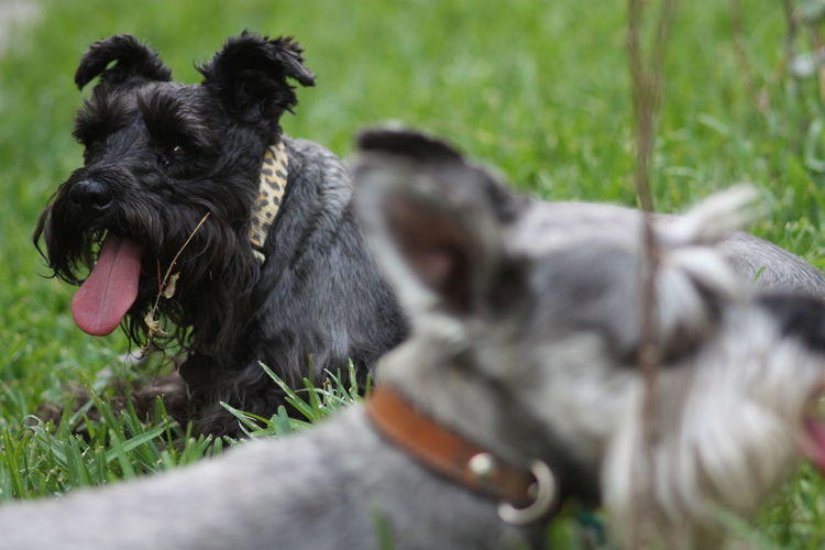 Close-up of miniature schnauzers on grass in park