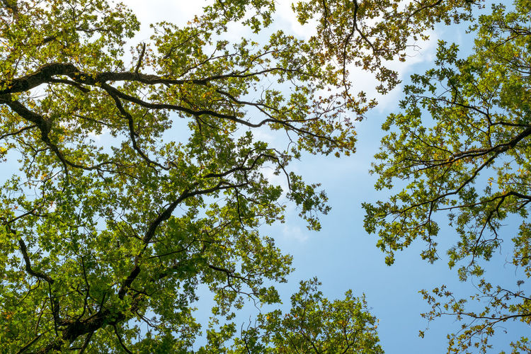 oak branches on the blue sky Oak Branches On The Blue Sky Tree Plant Low Angle View Beauty In Nature Sky Growth No People Day Branch Nature Green Color Outdoors Tranquility Clear Sky Backgrounds Idyllic Sunlight Plant Part Leaf Scenics - Nature Tree Canopy  High Directly Below