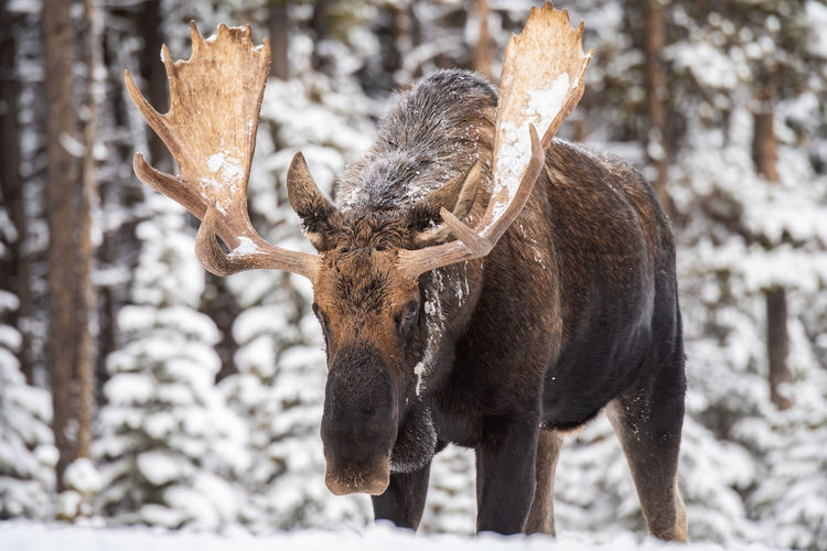 Moose standing in forest during winter