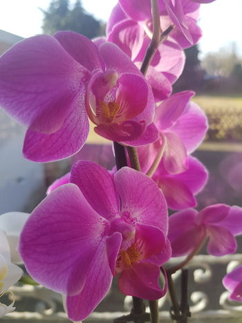 Beauty In Nature Close-up Day Flower Flower Head Fragility Freshness Growth Inndor Nature No People Orchid Petal Pink Color Plant Purple
