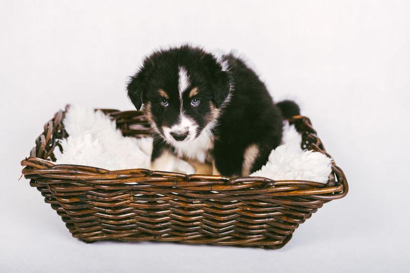 Portrait of puppy in basket against white background
