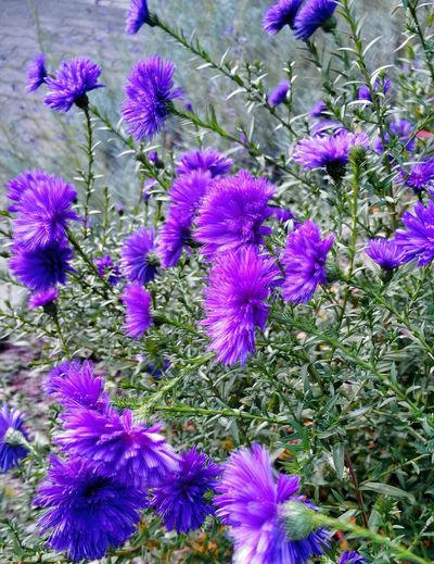 Beauty In Nature Outdoors Miniaster In Blue Fragility Flower