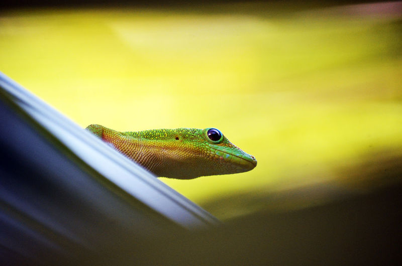 Animal Themes Animals In The Wild Close-up Day Indoors  Lezard Margouillat Nature No People One Animal Reptile Reunion  Reunion Island Travel Travel Photography Travelphotography