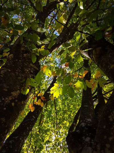 Nature Growth Tree Leaf Outdoors Beauty In Nature Day Branch Green Color Sunlight Freshness Sunlight Forest Tranquility Growth Fagus Sylvatica Autumn Colors Autumn Leaves