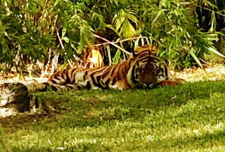 Eye Of The Tiger... One Animal Animals In The Wild Tiger Animal Themes Animal Wildlife Striped Grass Lying Down Animal Markings Safari Animals Side View Outdoors Mammal Nature