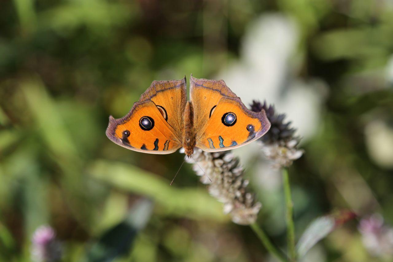 one animal, insect, animals in the wild, animal themes, wildlife, butterfly - insect, butterfly, focus on foreground, close-up, animal markings, flower, beauty in nature, natural pattern, nature, animal wing, plant, fragility, leaf, orange color, animal antenna