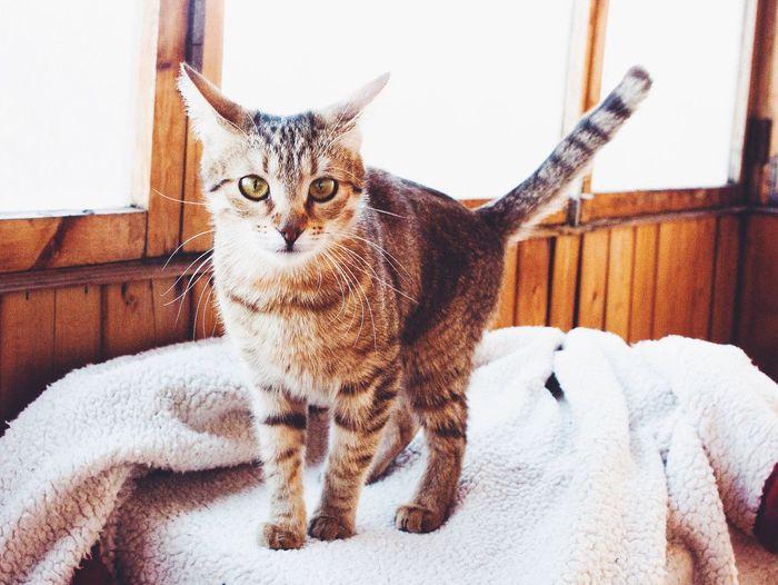 ? My Cat Animals Playing With The Animals Suprise Cat Tiger My Cat Mirana Hello World Gatto кошка