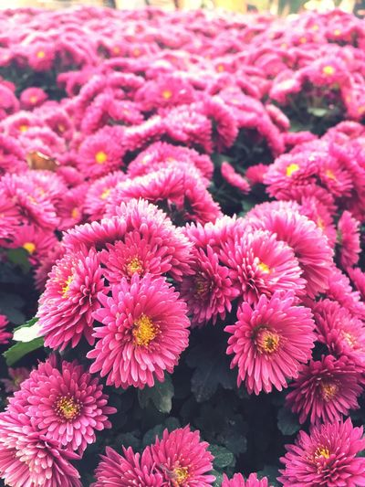 Flower Fragility Freshness Beauty In Nature Nature Growth Plant Petal Pink Color Flower Head No People Close-up Blooming Outdoors Day
