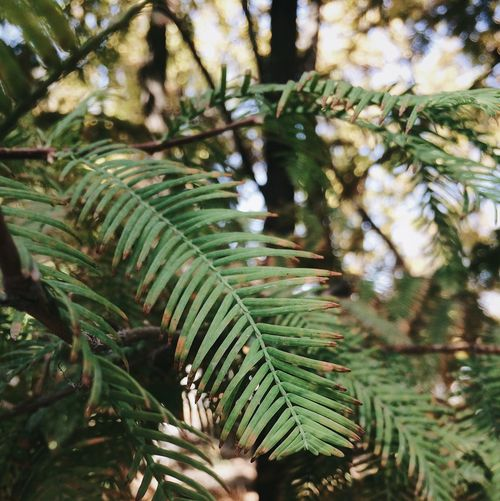 EyeEmNewHere Christmas Cold Green Color Growth Nature Leaf Focus On Foreground Tree Close-up Day Plant Selective Focus No People Fern Pine Tree Beauty In Nature Frond Branch Outdoors Freshness Needle Fall Autimn Adventure