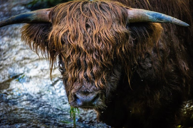 Close-up of cow standing in water
