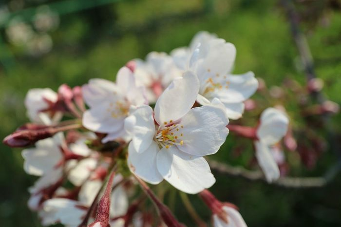 Eyem Flower_collection Cherry Blossoms Landscape_photography Eyem Nature Lovers  Check This Out Eyem Best Shots