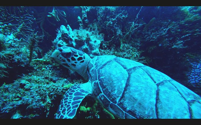 I really like the sea turtle ! Underwater Animal Wildlife Sea Turtle Carribean Santarosa Diving Sea Sony First Eyeem Photo