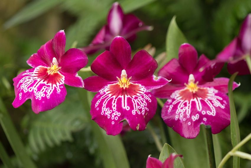 Three is the magic number Delicate Orchid Macro Flower Petal Nature Pink Color Beauty In Nature Focus On Foreground Fragility Flower Head Plant Growth Close-up Blooming Freshness