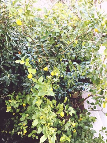 Lemon tree Lemontree Athens Cholargos Nature Enjoying Life Capture First Eyeem Photo