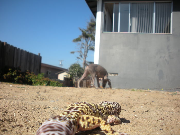 Alertness Blurredbackground Close-up Curiosity Domestic Animals Leopard Gecko Low Angle View No People Outdoors Pets Reptile Sand Sunnyday☀️ Weimaraner