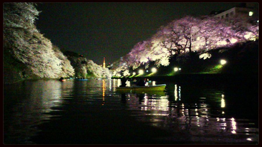 Relaxing Sakura 千鳥ヶ淵 Ohamami