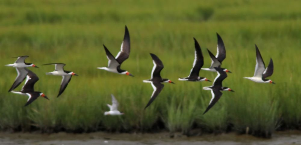 Flying Large Group Of Animals Flock Of Birds Outdoors No People Animal Wildlife Bird Spread Wings Skimmers