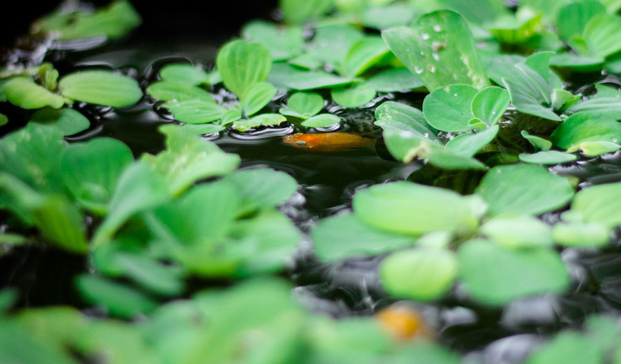 Plant Part Leaf Selective Focus Green Color Plant Growth No People Nature Close-up Freshness Beauty In Nature Water Outdoors Floating Leaves Day Green Wet Floating On Water