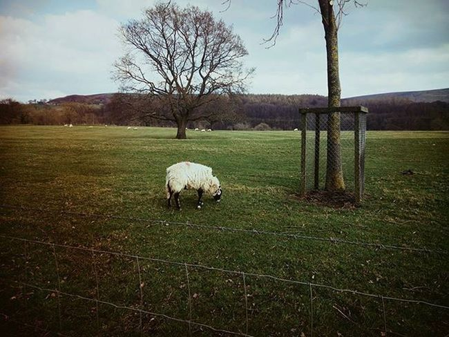 Outdoors Nature Countryside Sheep Film Filmisnotdead Filmphotography Ishootfilm 35mm 35mmfilmphotography 35mmfilm