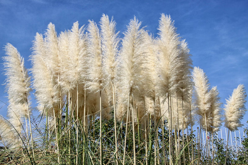 Feather Reed Grass Beauty In Nature Blue Brushes Close-up Day Feathered Reed Grass Feathers Field Grass Growing Growth Idyllic Landscape Landscapes Nature Nature No People Non-urban Scene Outdoors Plant Scenics Sky Tranquil Scene Tranquility Whispy Clouds