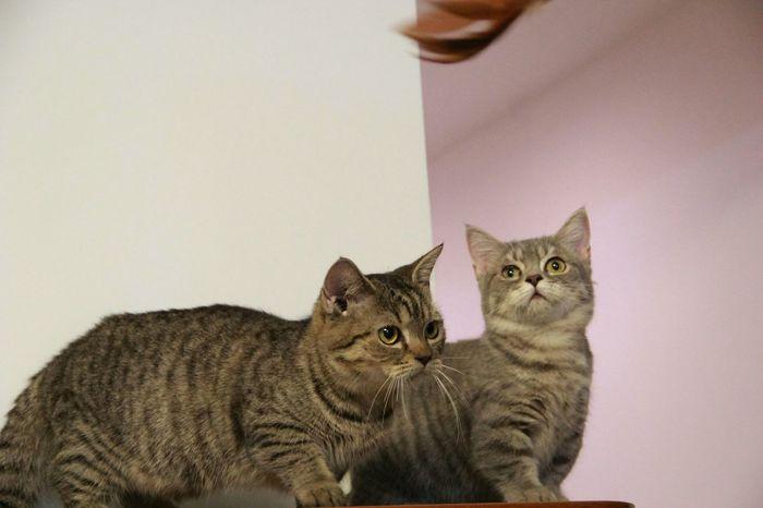 Munchkin Cat Calico Cat♡ Lovely Cat 😻 Cat Lovers Animal Cute Cat