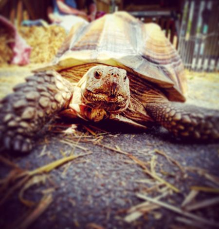 Tortoise One Animal Tortoise Shell Close-up Animals In The Wild Animals Tortoiselife Outdoors Photograpghy  Outdoors Sommergefühle Animal Photography Animal_collection EyeEm EyeEmBestPics EyeEm Selects EyeEm Best Shots EyeEm Gallery Pet Portraits