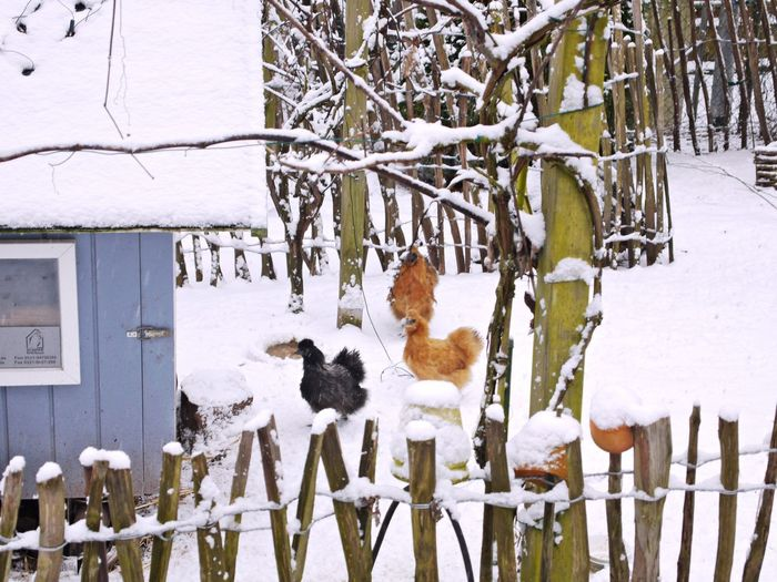 Architecture Bare Tree Beauty In Nature Built Structure Chickens Cold Temperature Day Hen House Nature No People Outdoors Rooster Snow Tree Tree Winter Wooden Fence