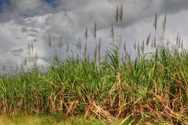 Flowering Morant Point Poaceae Botany Duckenfield Jamaica Mountain Sugar Cane