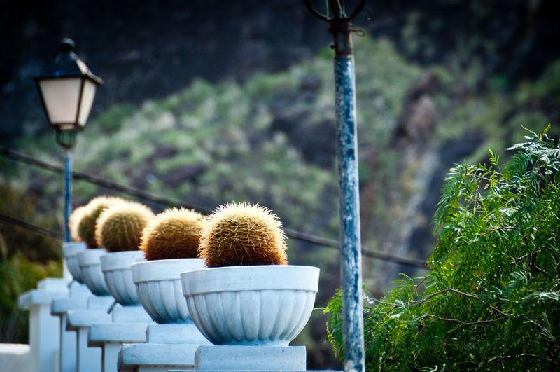 Row of barrel cactus in planters