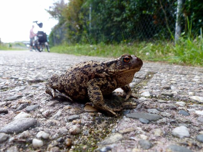 One Animal Reptile Animals In The Wild Animal Wildlife Animal Themes Outdoors Day Nature Close-up No People Iguana Full Length Toad