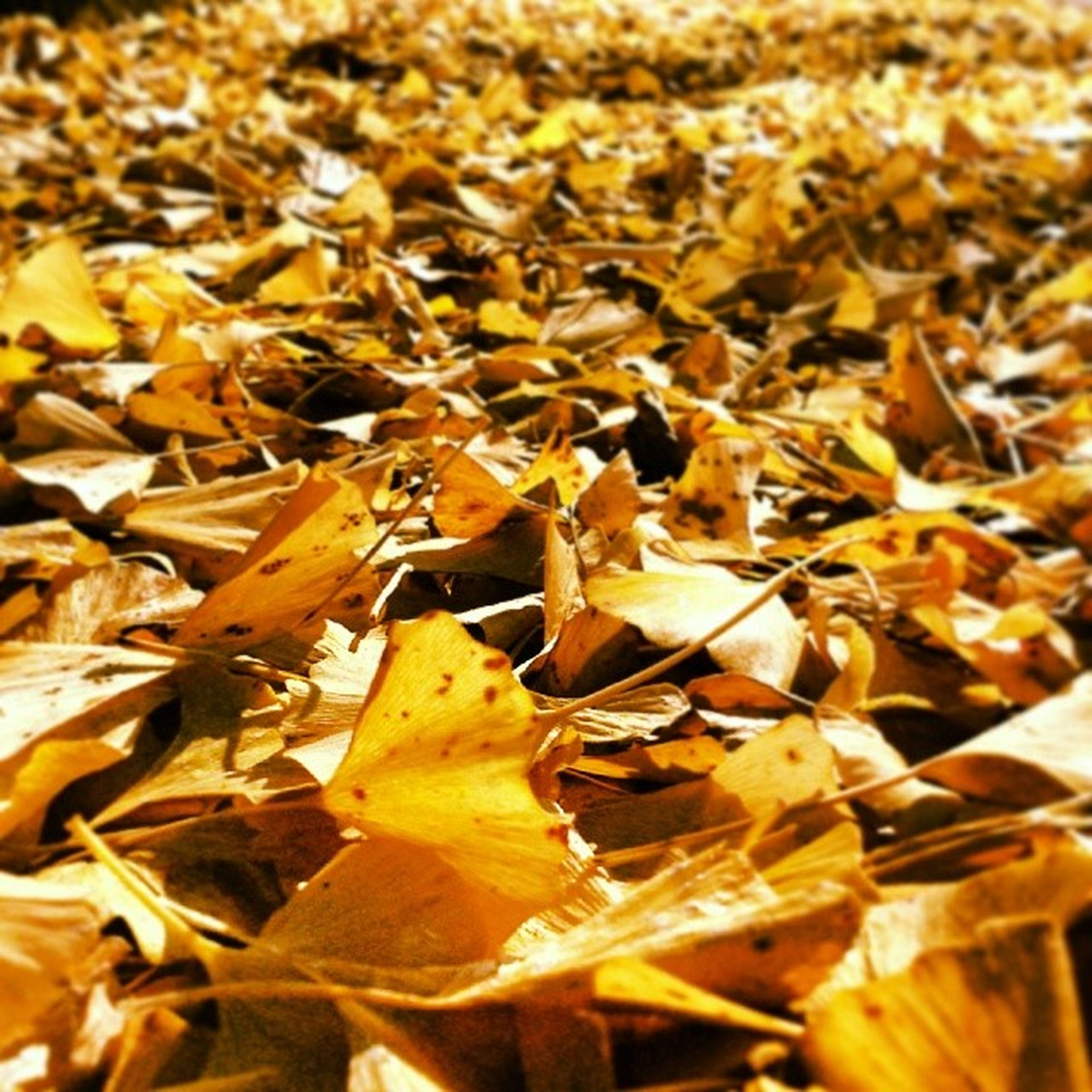 autumn, leaf, change, dry, yellow, leaves, season, nature, full frame, close-up, backgrounds, abundance, fallen, selective focus, focus on foreground, high angle view, fragility, day, outdoors, sunlight