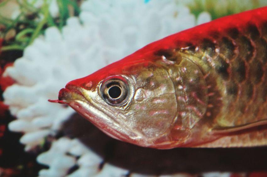 Fish Arowana Fish Fish Eyes Close-up