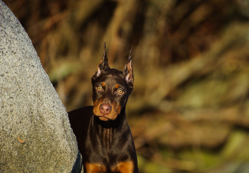 Doberman Pinscher dog Dobermann Red Animal Animal Themes Cropped Ears Day Doberman  Doberman Pinscher Domestic Animals Focus On Foreground Looking At Camera Mammal No People One Animal Outdoors Pets Photography Pinscher Portrait Puppy Red And Tan Tan