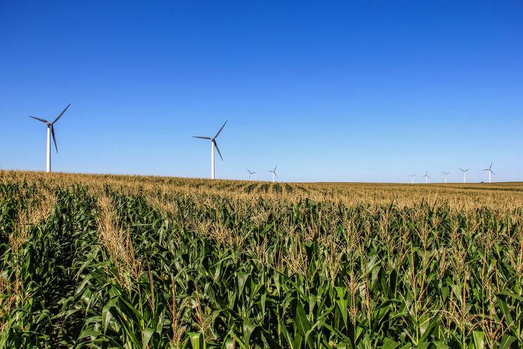 Windmills on corn field against clear sky