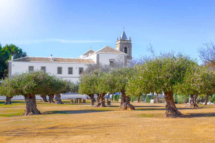 Centenary olive trees and Convent of San Francisco de Asís in the background in Estepa, province of Seville. Charming white village in Andalusia. Southern Spain. Picturesque travel destination on Spain. Estepa SPAIN Seville Tourism Tourism Destination White Villages Sun Europe Andalusia City Town Village Andalucía Travel Travel Destinations Blue Architecture Tower Summer Tourist Mediterranean  Beautiful Sky Street House Traditional Landscape Destination Vacations Landmark Picturesque Art Arts Culture And Entertainment