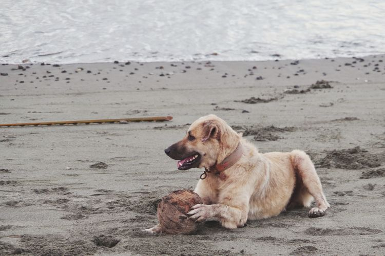 beach dog playing with coconut Playtime Mixed-breed Dog Coconut Pets Water Sea Beach Dog Sand Summer Canine