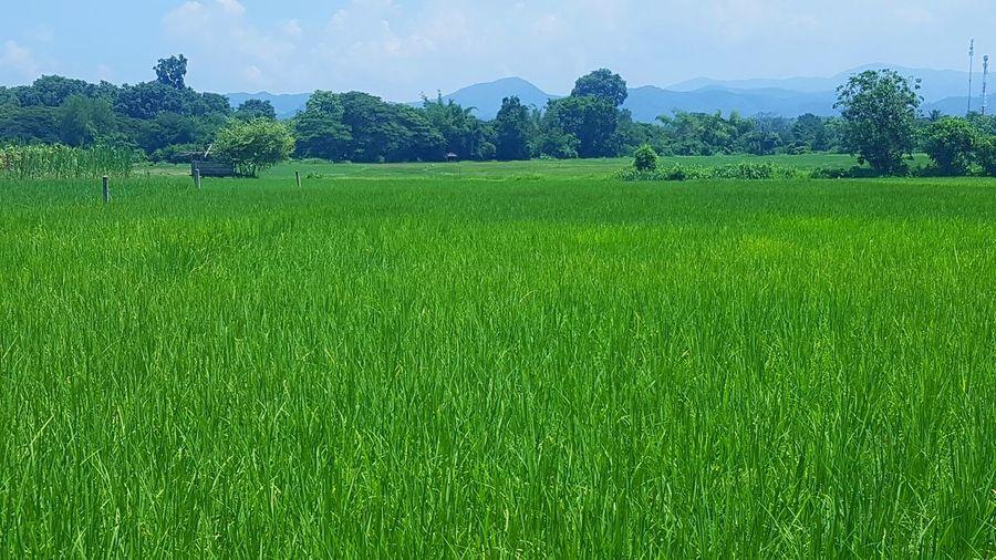 Tree Rice Paddy