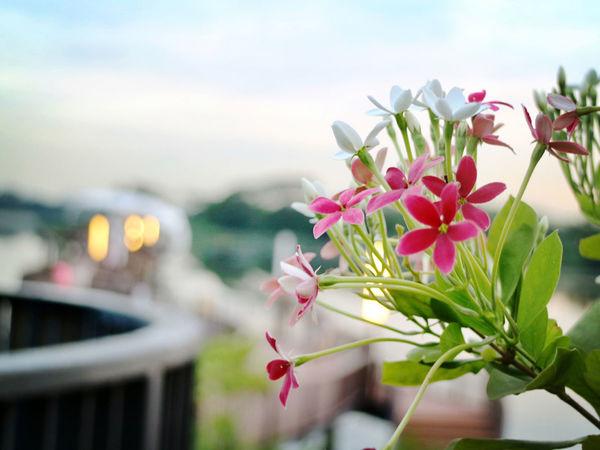 Blossom Close-up Flower Lower Seletar Reserviour Nature Nparks Nparksbuzz