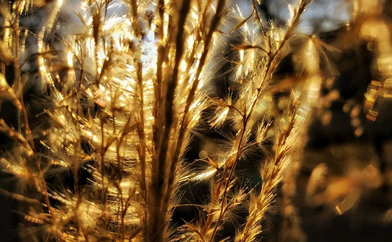 Beauty In Nature Close-up Day Filtered Light Growth Nature No People Outdoors Plant Spinning Gold