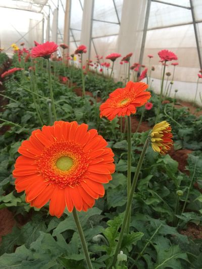 Flower Fragility Beauty In Nature Petal Nature Freshness Orange Color Flower Head Plant Red Blooming Day Outdoors Close-up No People Pollen