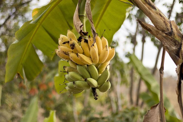 Banana tree in