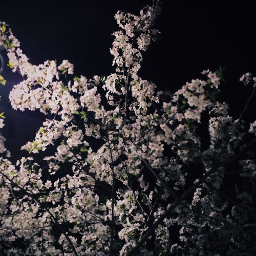 Cherry Blossoms Night Spring Flowers