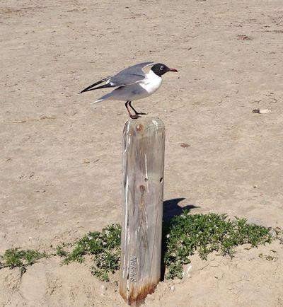 Beach Nature Seagull
