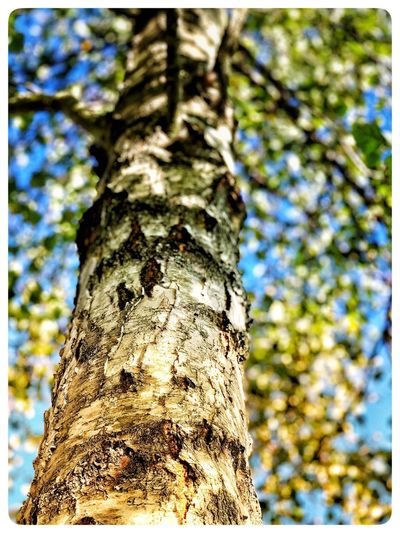 Bouleau @ work Tree Trunk Tree Trunk Plant Low Angle View Nature Focus On Foreground Blue Textured  Outdoors No People Day