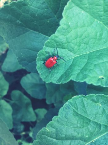 Insect Nature Photography Naturelovers Red Lily Beetle Red Lilly Beetle Plant Part Leaf Insect Green Color Invertebrate Close-up Plant Red Nature Beetle High Angle View Outdoors