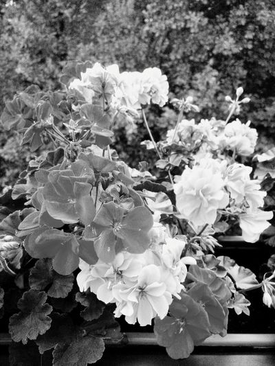 Blooming No People Geranie Day Bw On Balkon