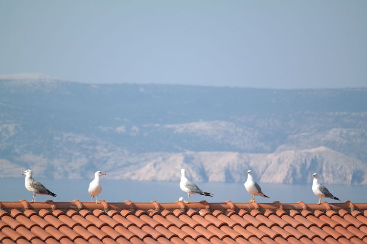 Seagulls perching on house roof against clear sky