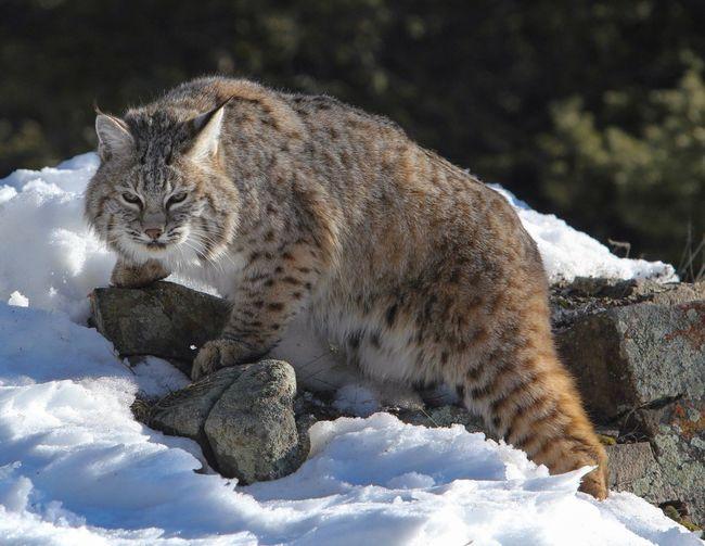Eurasian lynx on snowy landscape